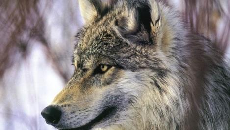 grey wolf Desktop Nexus