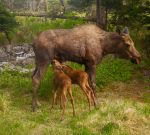 Moose_calves_nursing Wiki