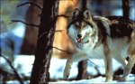 mexican gray wolf3