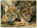 Mexican gray wolf pups Lobos of theSouthwest