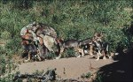 Mexican gray wolf with pupsUSFWS