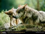 mexican-gray-wolf2 National Geographic Photo by JoelSartore