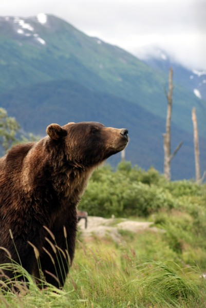 Grizzly_Bear_Alaska_(1)