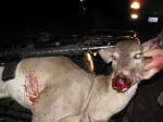Gut shot deer_Have Mercy On OurWildlife