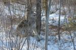Snared wolf photobucket