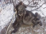Snared Wolf, Choked To Death