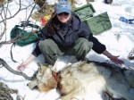 Vet Removes Snare From Denali Wolf