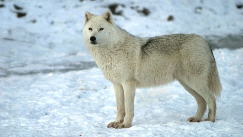 Wonderful Wallpaper Horse Wolf - arctic-wolf-desktop-nexus  HD_443130.jpg