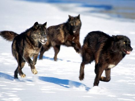 Black wolf pack running