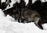 Black wolf_wallpaper