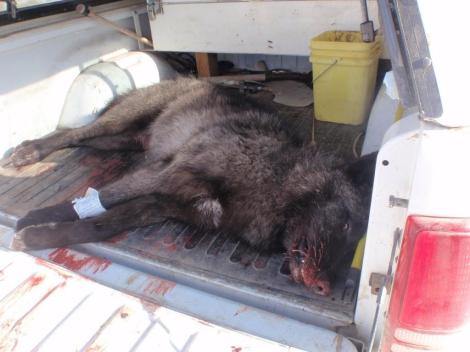 "Dead Wolf Image Emailed To Wolf Advocate on Christmas Eve 2009 With The Caption ""Merry Cristmas"""