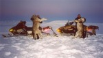 Dead Wyoming wolves Nimrod399photobucket
