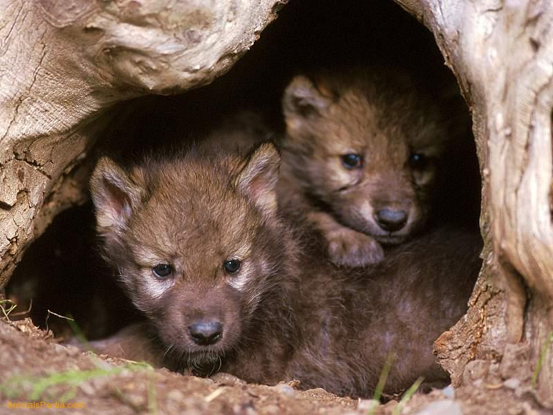 Gray Wolf Pups Animal Babies Wallpaper 2 on Printable Pictures Of Hibernating Animals