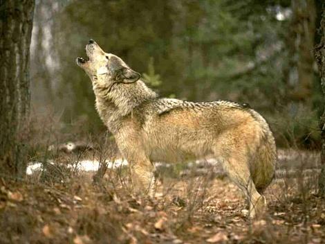 howlingwolfkewlwallpaersdotcom-1