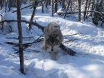trapped wolf_hunter 7413photobucket