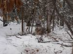 trapped wolf_secondwolf09001_hunter7413