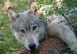 Wenaha-wolf-shot-dead by poacherODFW