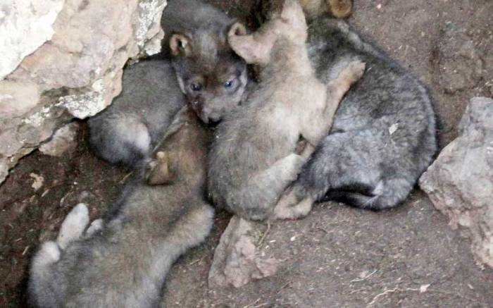 Wild Mexican Wolf Pups_Mexican Wolf Interagency Field Team