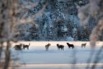 Wolf Pack Howling on Lake Jim Brandenburg2011