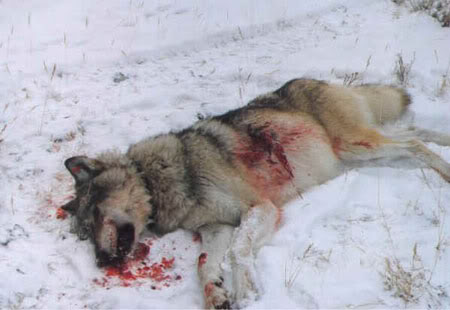 wolf_dead_insnow1 photobucket