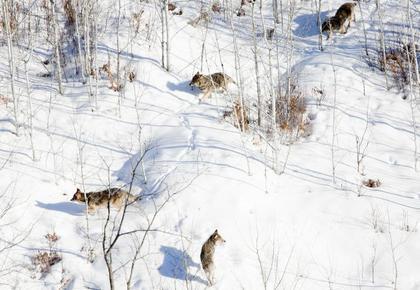 Minnesota Wolves