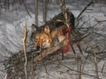 Snared wolf in superior national forest tcdailyplanetdotnet