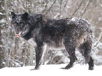 british columbia wolf_environment news service
