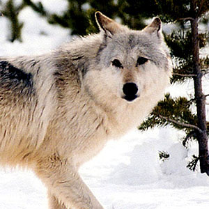 gray wolf flickr commons usfws