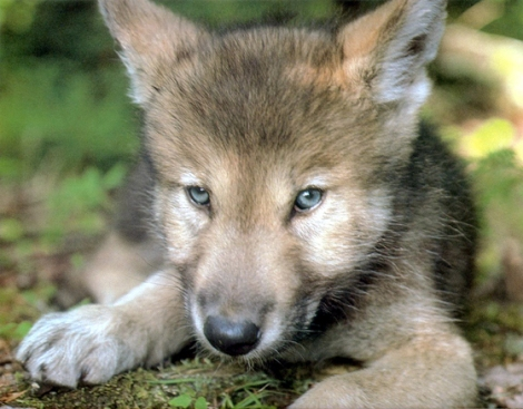 Mexican Gray Wolf Pup