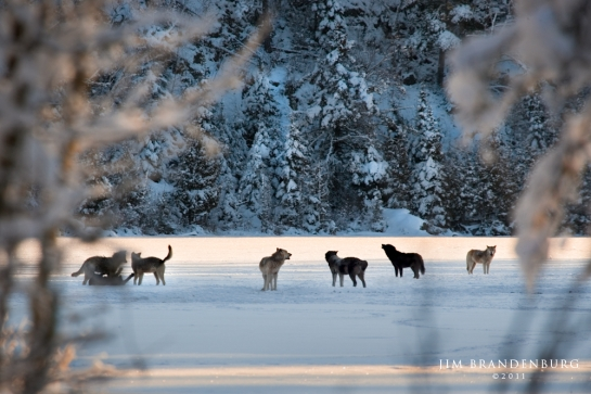 Wolf Pack Howling On Lake
