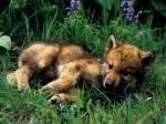 wolf pup beautiful