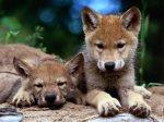 wolf pups 3