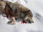 Wyoming Wolf_Hunt Talk Forum 2012