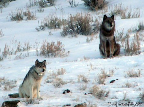 Yellowstone wolf Lamar Canyon Pack Alpha Female_832F and Wolf 754 killed in the hunts