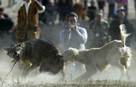 A hunting dog bites a chained wolf during the hunting festival Solburun in the village of Bokonbayevo Kyrgyzstan on October 18  2008. VYACHESLAV OSELEDKO AFPGetty Images