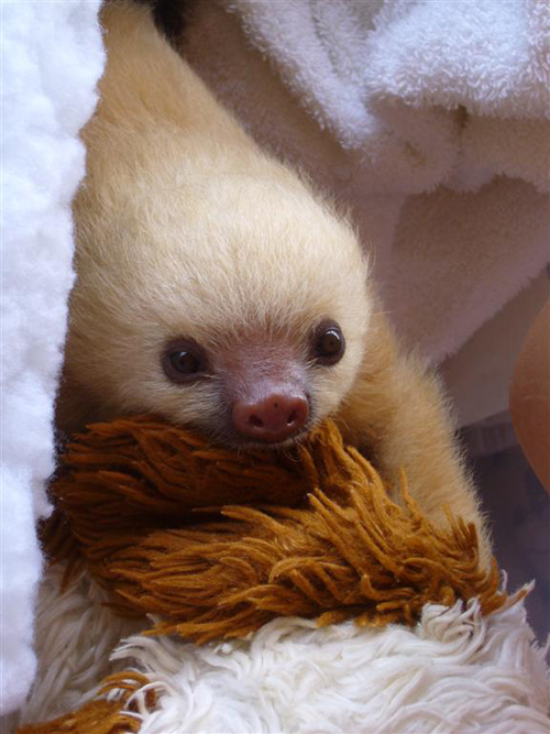 baby sloth and his teddy bear photo by smcmahon44