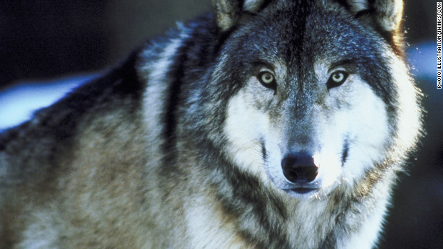 Gray wolf photo CNN