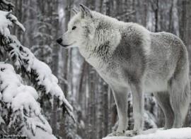 gray wolf tumblr the champion