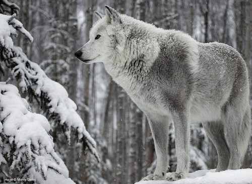 gray wolf tumblr the champion