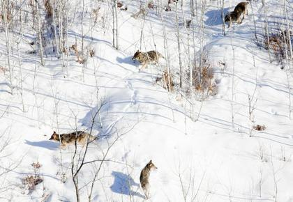 minnesota-wolves_mpr-file-photo_derek-montgomery2