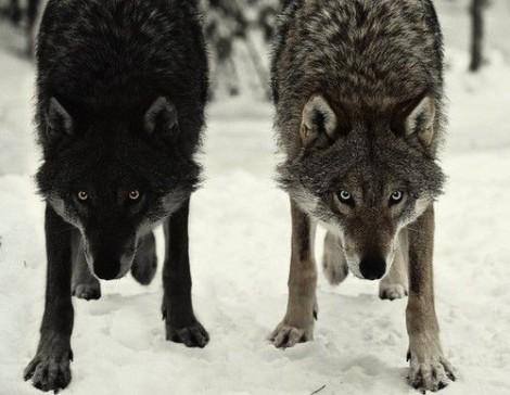 tumblrgraywolvesjpg.jpg