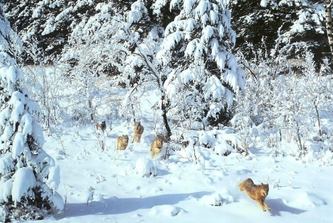 wolf pack in snow first nation