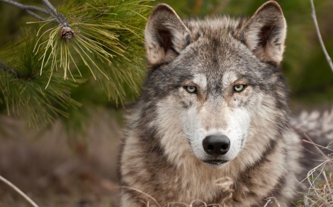 wolf wallpaper 1MSdotNet