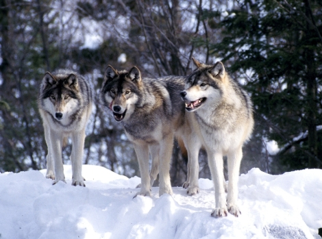 Gray wolves the wilderness classroom
