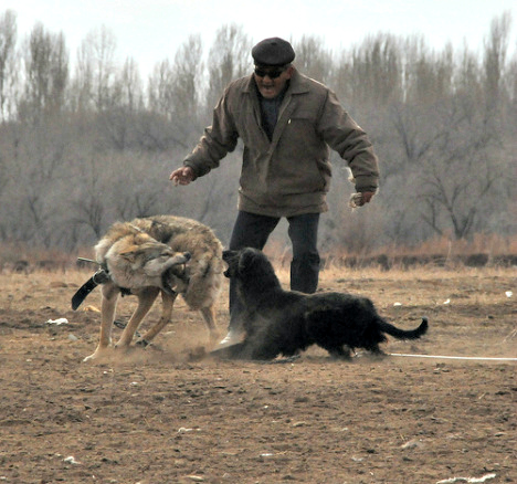 wolf torture kyr_sick_stan care 2 petition 2