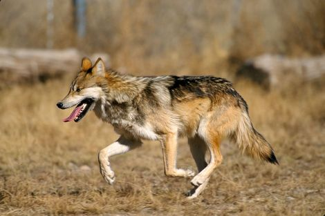 Mexican Gray Wolf wikimedia commons