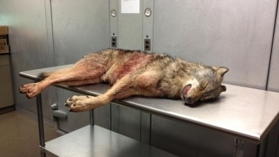 Wolf Killed in Missouri