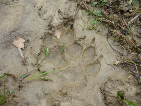 wolfpaw print