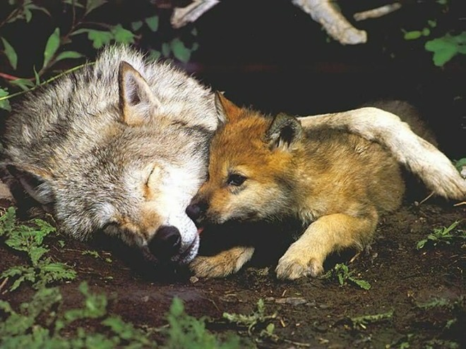 Wolf and pup debs den dot com