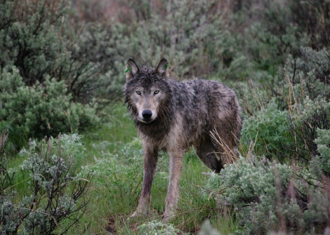 ODFW yearling wolf killed by Wildlife Sevices